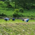 2017年6月17日、山形県戸沢村農作業イベント